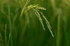 Il verde plains il grano Immagine Stock