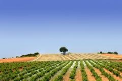 Il verde rema il campo della vigna Immagini Stock