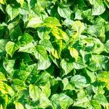 Il verde senza giunte lascia la struttura Fondo, natura Fotografia Stock