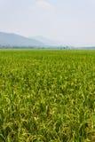 Il verde sistema i cieli blu Fotografie Stock