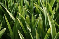 Il verde stacca II dal gambo Immagine Stock