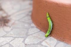 Il verme verde del tè verde del wormthe o Caterpillar sta scalando immagine stock