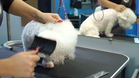 Il veterinario asciugacapelli i peli del cane con un asciugacapelli e pettina un cane Bichon Frise video d archivio