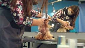 Il veterinario asciugacapelli i peli del cane con un asciugacapelli e pettina l'Yorkshire terrier video d archivio
