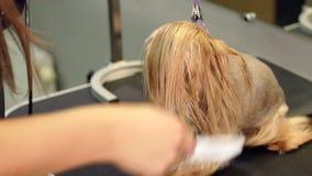 Il veterinario asciugacapelli i peli del cane con un asciugacapelli e pettina l'Yorkshire terrier archivi video
