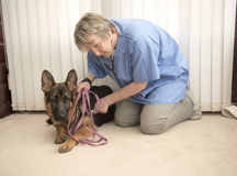 Il veterinario che controlla un alsaziano insegue il battito cardiaco Fotografia Stock