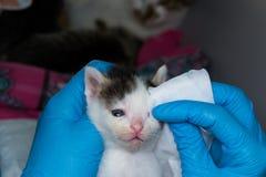 Il veterinario che pulisce i gattini ha infettato gli occhi con le strofinate speciali fotografia stock libera da diritti