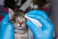 Il veterinario che pulisce i gattini ha infettato gli occhi con le strofinate speciali immagini stock