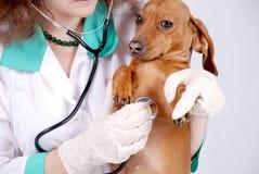 Il veterinario controlla il cane Fotografie Stock Libere da Diritti