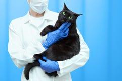 il veterinario della donna tiene un gatto nero nelle sue armi immagine stock