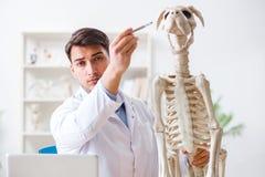Il veterinario di medico che pratica sullo scheletro del cane Immagini Stock Libere da Diritti