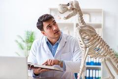 Il veterinario di medico che pratica sullo scheletro del cane Immagine Stock
