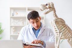 Il veterinario di medico che pratica sullo scheletro del cane Fotografia Stock
