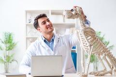 Il veterinario di medico che pratica sullo scheletro del cane Immagine Stock Libera da Diritti