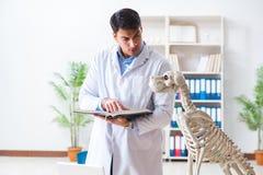 Il veterinario di medico che pratica sullo scheletro del cane Immagini Stock