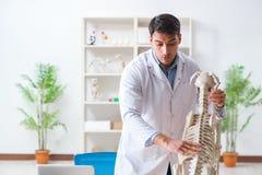 Il veterinario di medico che pratica sullo scheletro del cane Fotografie Stock Libere da Diritti