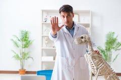 Il veterinario di medico che pratica sullo scheletro del cane Fotografie Stock