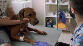 Il veterinario mette il catetere al cane video d archivio