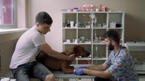 Il veterinario mette il catetere al cane, che si trova sulla tavola stock footage