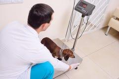 Il veterinario pesa il cane immagine stock libera da diritti