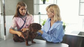 Il veterinario sta controllando sul respiro dei tasso-cani del tedesco video d archivio