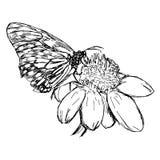 Il vettore dell'illustrazione scarabocchia il fiore disegnato a mano della margherita con butterf Fotografia Stock Libera da Diritti