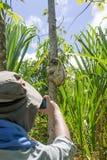 Il viaggiatore che fotografa un giovane 3 ha piantato il bradipo di traverso  Fotografia Stock