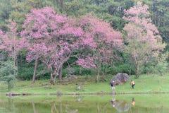 Il viaggiatore prende una foto intorno allo stagno con l'albero nell'inverno, Chaingmai, Tailandia del fiore di ciliegia Fotografia Stock