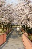 Il viale giapponese della ciliegia Immagine Stock
