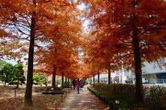 Il vicolo di autunno del cipresso calvo di taxodium distichum, cipresso, in modo da fotografie stock