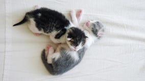 Il video divertente due gattini neonati svegli degli animali domestici dorme lavoro di squadra sul letto concetto degli animali d stock footage