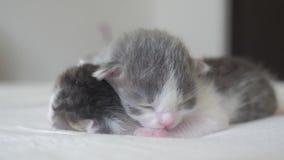 Il video divertente due gattini neonati svegli dorme lavoro di squadra sul letto concetto di stile di vita degli animali domestic stock footage
