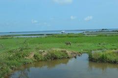 Il Vietnam - strada alla tonalità - vista costiera sopra terreno coltivabile con il bufalo d'acqua in priorità alta Fotografia Stock