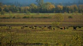 Il villaggio intimorisce il pascolo sul campo verde vicino al giardino, mangiante l'erba, il paesaggio rurale stock footage