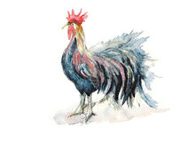 Il vincitore un gallo dopo la lotta Immagine Stock