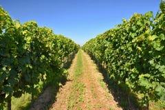 Il vino nella vigna Regione del vino di repubblica Ceca del sud della Moravia Immagini Stock Libere da Diritti
