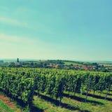 Il vino nella vigna Regione del vino di repubblica Ceca del sud della Moravia Fotografie Stock