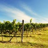 Il vino nella vigna Regione del vino di repubblica Ceca del sud della Moravia Fotografia Stock Libera da Diritti