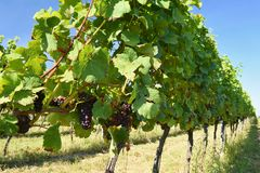 Il vino nella vigna Regione del vino di repubblica Ceca del sud della Moravia Fotografia Stock