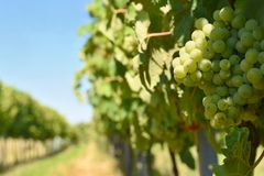 Il vino nella vigna Regione del vino di repubblica Ceca del sud della Moravia Immagine Stock