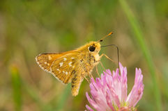 Il virgola di Hesperia della farfalla beve il nettare da un fiore del trifoglio Fotografia Stock Libera da Diritti