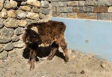 Il vitello è circa una parete di pietra Immagini Stock Libere da Diritti