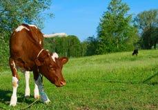 Il vitello. Immagine Stock