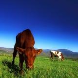 Il vitello Immagini Stock Libere da Diritti