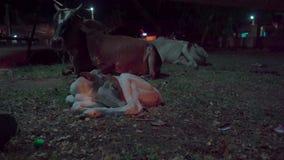 Il vitello che nasceva un'ora fa stock footage