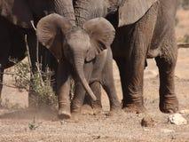 Il vitello dell'elefante attaca il Wagtail. Fotografia Stock Libera da Diritti