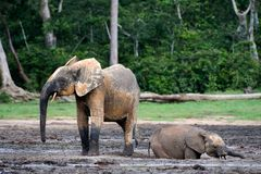 Il vitello dell'elefante che bagna in una sporcizia. Bagni di fango. fotografia stock libera da diritti