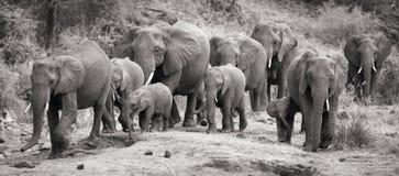 Il vitello e la madre del gregge dell'elefante fanno pagare verso il foro di acqua Fotografia Stock