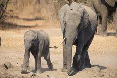 Il vitello e la madre dell'elefante fanno pagare verso il foro di acqua Immagini Stock Libere da Diritti