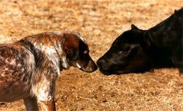 Il vitello incontra il cane Fotografia Stock